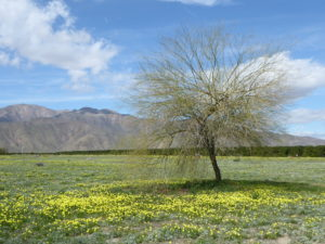 A Palo Verde tree sitting among a meadow of Desert Dandelions - Anza Borrego