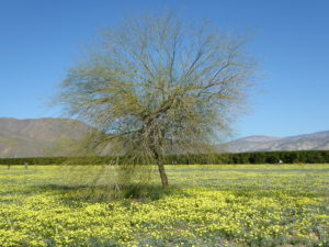 field of dandelions - Anza Borrego